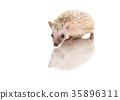 Baby African Pygmy hedgehog  35896311