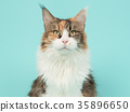 Main coon cat portrait on a blue background 35896650