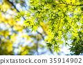 단풍나무, 단풍, 푸른 단풍 35914902