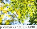 잎, 푸른 단풍, 단풍 나무 35914903