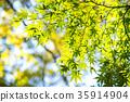 단풍나무, 단풍, 푸른 단풍 35914904