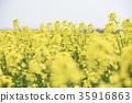 ดอกเรป,ดอกไม้บานเต็มที่,ดอกไม้ 35916863