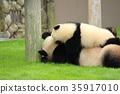팬더, 판다, 부모와 자식 35917010