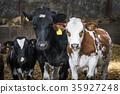 farm, calf, cow 35927248