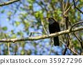 blackbird bird avian 35927296