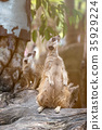 Close up of couple meerkats standing over stump 35929224