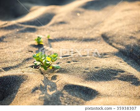 沙丘上的植物 35938307