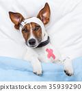 Sick dog with bandages lying on bed 35939290