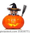 halloween pumpkin witch dog 35939771