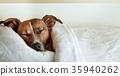 bed, blanket, dog 35940262