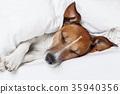 bed, dog, jack 35940356