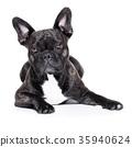 french bulldog 35940624