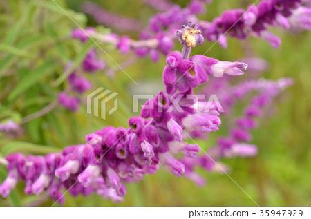 植物:Leucanese Sisaceae 35947929