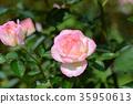 장미, 장미꽃, 로즈 35950613