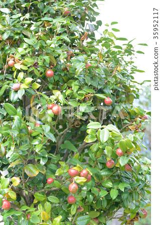 Camellia seeds 35952117