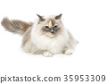 beautiful birma cat isolated on white 35953309
