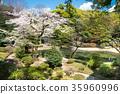 小石川後楽園花園 後樂園 櫻花 35960996