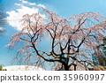 小石川後楽園花園 後樂園 櫻花 35960997