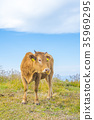 cow, cattle, cows 35969295