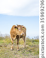 cow, cattle, cows 35969296