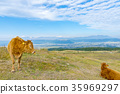 cow, cattle, cows 35969297