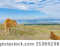 cow, cattle, cows 35969298