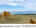 cow, cattle, cows 35969299