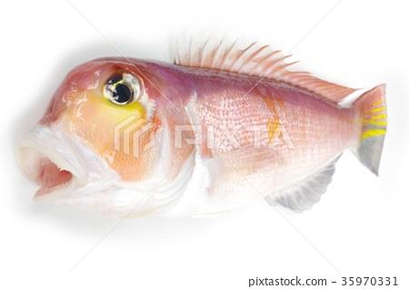 紅色紅海鯛魚白色味道的高級魚 35970331