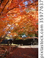 maple, yellow, leafe 35977637
