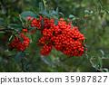 火棘 红莓 红 35987827