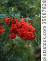 火棘 红莓 红 35987828