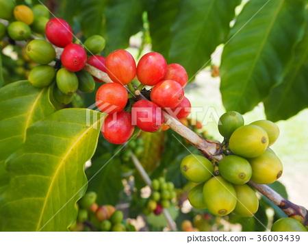 coffee 36003439