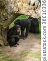 himpanzee family at the zoo 36010336