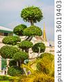 Beautiful shaped tree in the wat phra kaew temple 36019403