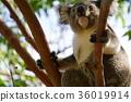 코알라, 동물, 육상동물 36019914