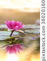 water, lily, water-lily 36020160