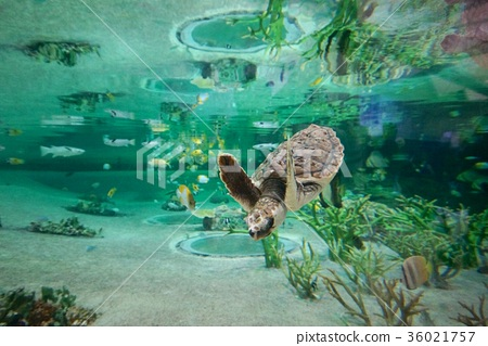 수족관에서 수영 아기 바다 거북 36021757