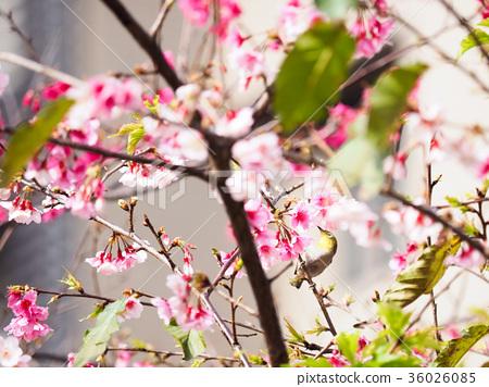 綻放的櫻花 36026085