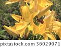 ภูเขาฟูจิ,ภูเขาไฟฟูจิ,ดอกไม้ 36029071