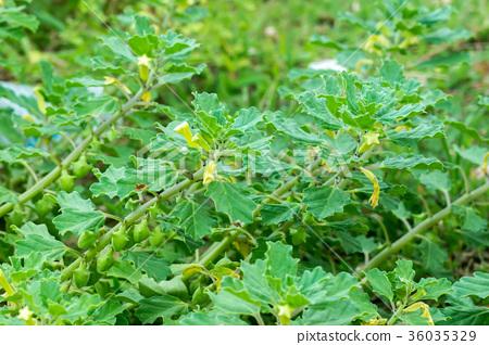 Bada Gokhru (Pedalium murex L.) 36035329
