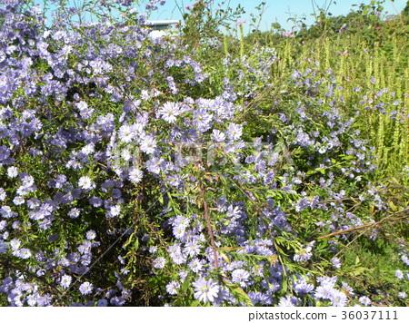 米迦勒雛菊 花朵 花 36037111