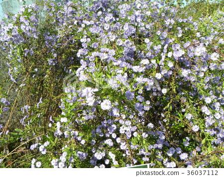 꽃, 플라워, 보라색 36037112