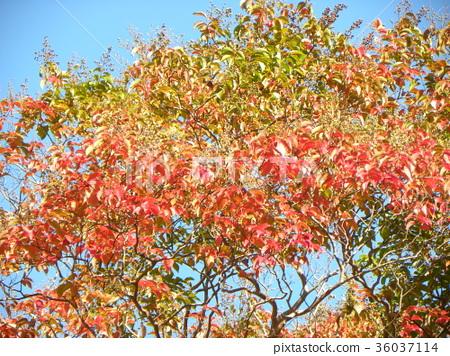 ต้นเมเปิล,ฤดูใบไม้ร่วง,ท้องฟ้าเป็นสีฟ้า 36037114