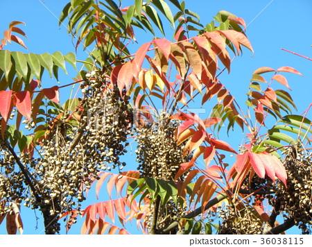goby, wax tree, tree 36038115