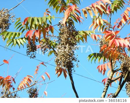 goby, wax tree, tree 36038116