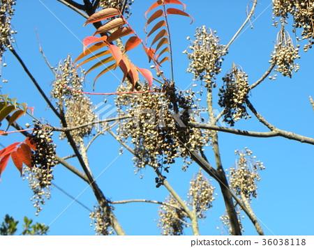 goby, wax tree, tree 36038118