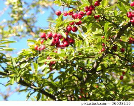 열매, 과실, 적색 36038119