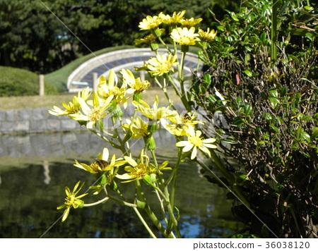 日本银叶 花朵 花卉 36038120