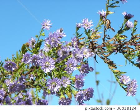 Michaelmas daisy, bloom, blossom 36038124