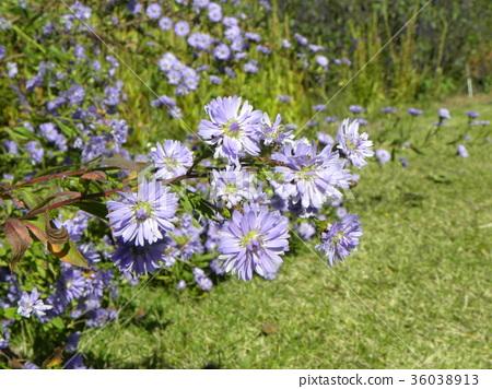 米迦勒雛菊 花朵 花 36038913